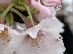 花冷え…桜…桜海老⁉️