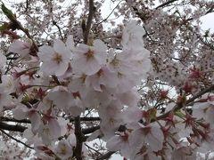 桜を求めてあざみ野周辺を散策