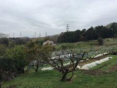 はるひ野・黒川自然散策 桜は満開ですよ~