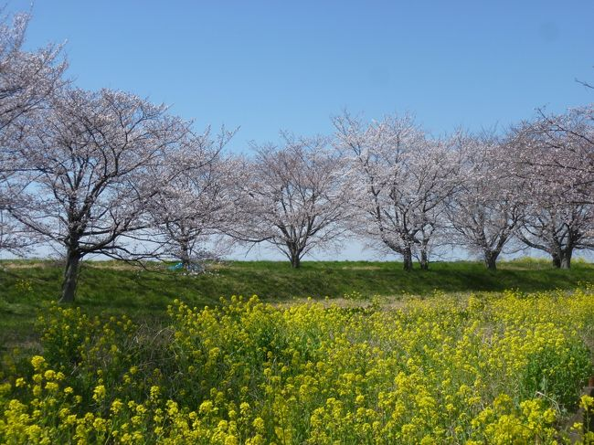天気がいいので桜が見られるかと思い再度佐野市へドライブに行きました。江戸川沿いの野田市付近は土手に菜の花がきれいでした。途中で埼玉県、栃木県、群馬県の「三県境」に立ち寄りました。特に観光地というわけではありませんが立ち寄る人が多いようで手作りの案内板がありました。<br />渡良瀬川の近くで桜と菜の花がきれいな場所があったので寄り道をして一人で花見をしました。佐野市に着いて道の駅どまんなかたぬまへ行き、次に万葉自然公園でかたくりの群生を見ました。今回は高速道路を使わなかったので時間がかかりました。