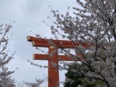 巣篭もり、自粛の人に!京の桜鑑賞を!