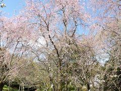 荒井城址公園の枝垂れ桜は来週が見頃でしょう-2020年