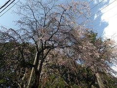 大雄山法雲閣の枝垂れ桜