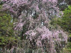 大雄山萬霊塔・夫婦墓の枝垂れ桜