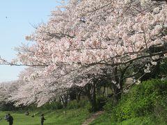 ご近所散歩「桜」& 春色の我が家の畑 2020年