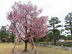 COVID-19対策の自主隔離を終えて☆京都 二条城で桜見物