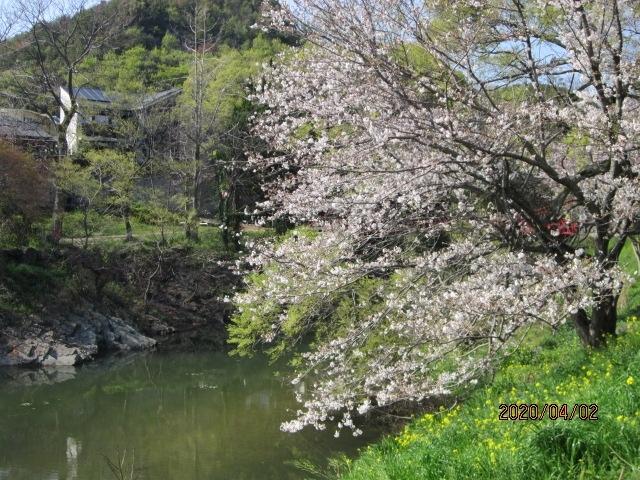 この春休みはコロナ騒動にて旅行はキャンセル、ぶらりと桜の花見を楽しんできました。<br />気のせいか、今年の桜は勢いがなく花は早くさいたのですが満開にならず、又、色も鮮やかさが感じられず・・・・で少しさびしいです。<br /> <br />奥道後のホテルも道後プリンスホテルも休館・・・・<br />花見宴会も禁止。道後の観光客も激減。<br />愛媛もコロナ感染者が増えており・・・<br />街も静かになり・・・<br />景気も悪くなり・・・<br />せめて、桜でも見て早く良くなってくださいと祈るばかり。<br /><br /><br />
