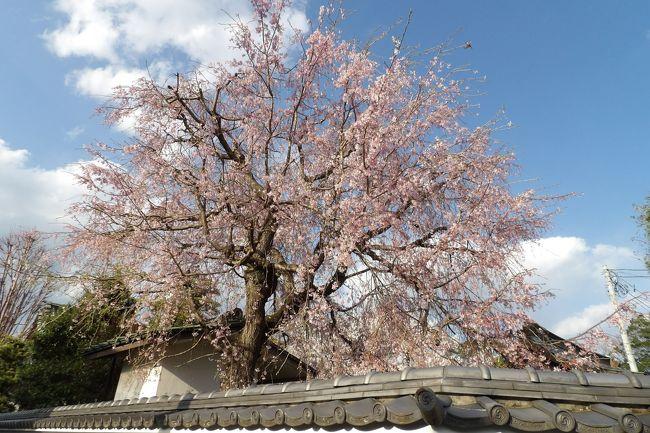 小田原駅から大雄山線で大雄山駅に向かう途中、井細田駅に入る手前に開花した枝垂れ桜が見えるお寺がある。小田原市扇町1にある眼蔵寺である。この寺には1本の枝垂れ桜が植えられており、満開だ。帰りに井細田駅で下車して国道255号線からお寺へ向かった。しかし、電車の線路を渡れる踏切や河川にさほど橋が掛けられていないために、中々辿り着けずに、国道から右折してさらに右折して戻るような工程になった。<br /> たった1本の枝垂れ桜とはいえ、満開ともなれば見ごたえがある。境内には染井吉野の大木もあり、平成になってから植えた枝垂れ桜であろう。<br /> 井細田駅から徒歩でくる時間が掛からず、分かり易い道であれば、少しは花見に訪れる人も出てこようが、あいにくそれはなかった。ただ、メジロが枝垂れ桜に群れていた。<br />(表紙写真は眼蔵寺の枝垂れ桜)