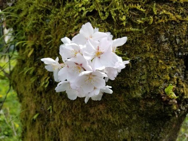 日差しが温かく、周りの桜が満開になってきましたので友達と陶彩の径とよばれる散歩道を歩きました。