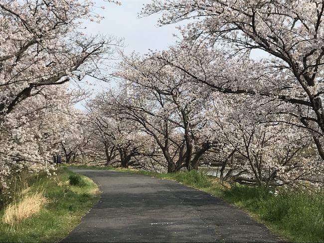 新型コロナウイルスの世界的蔓延で、毎日暗いニュースばかりで、滅入る日々が続いています。<br /><br />明日には、やっと?緊急事態宣言が発令されるようで、日常生活も変わる人々も多いと思います。困りましたねぇ~・・・<br /><br />蕾の桜は四日市駅近くの鵜森公園でしたが、今度は四日市で有名な桜の名所の海蔵川の桜です。<br /><br />自宅から、自転車で、此処まで20分運動です。