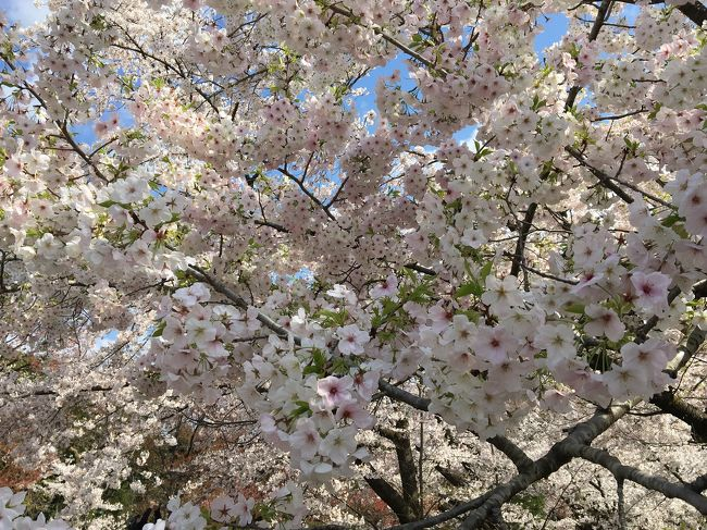 悲報(>_<) 桜満開のタイミングで臨時休園 滑り込みで見てきた植物園