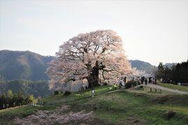 後醍醐天皇が隠岐に配流された時愛でた醍醐桜と11度目の逢瀬