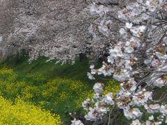 サクラ (近場で花見)