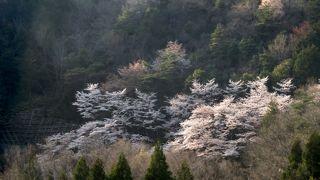 日本画のような山桜と後醍醐天皇が賞賛した樹齢1000年の一本桜