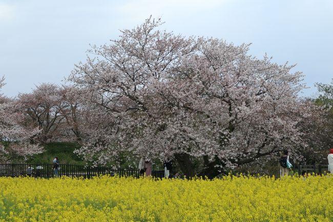 とうとう昨夜、7都府県に緊急事態宣言が発令された。<br />「日常」が戻ってくるのは、いったいいつなんだろう・・・<br /><br />先週、不要不急の外出自粛の中、密閉・密集・密接の「三密」を避けて2020年最後の桜と菜の花を見に行った。<br /><br />肌寒く小雨の降る日曜日。<br />本来なら今日は桜まつり。<br />天気予報では「曇り一時雨」だったのに、午前中からすでに雨が降り出したのは桜の涙に思えた。<br />