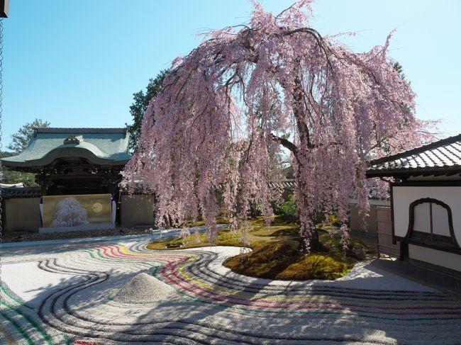 高台寺の桜は見事でしたが、枯山水の庭園の砂紋に色がつけてありました。これは...やっちまった感が拭えません。その後一旦ホテルに戻り夕食はイカリヤ食堂へ。お値段も手頃で大満足の夕食でした。