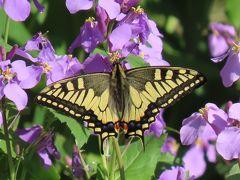 森のさんぽ道で見られた蝶⑧キアゲハ、ナミアゲハ、ヒメアカタテハ、ツマキチョウ他(作成中)
