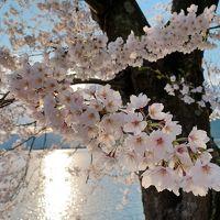 3密を避けて、静かに滋賀県内の満開の桜を楽しむ -my carでの琵琶湖一周も達成♪-