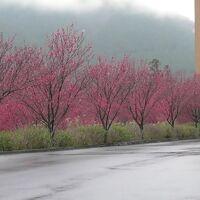 今年の本巣市のハナモモ(佐原)と桜 (根尾)& 海津市のチューリップ(海津町)