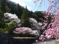 「小夜戸大畑花桃街道」のハナモモ_2020_花桃、枝垂れ桜、サクラ、どれも見頃です(群馬県・みどり市)