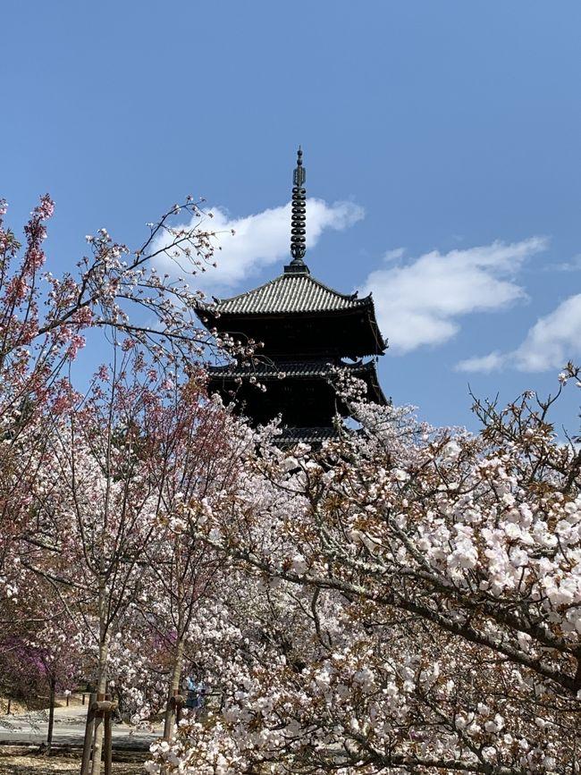 桜の季節、前回の祇園、銀閣寺、京都御所方面から今回は嵐山、嵯峨野、金閣寺方面を旅ラン。