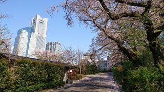 横浜の桜を観賞しながら散策。掃部山公園、伊勢山皇大神宮、大岡川、汽車道、臨港パーク(*´▽`*)
