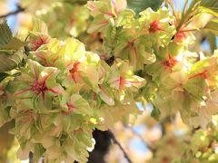 ご近所で鬱金桜♪/谷中霊園と天王寺
