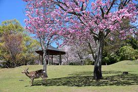 2019 さくらの名所を巡る旅《Part.8》~鹿と桜の共演・ぷらっと奈良公園散歩~