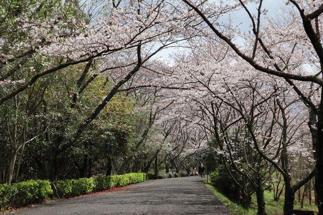 この時期、いつもなら京都へ桜を見に行く予定でした。<br />しかしコロナの関係で、当分の間遠出は自粛となり…(..)<br />自家用車で移動できる範囲で、近場の桜を見に行きました。<br /><br />昨年訪れた公園も、今年は人もまばら…ひっそりと少し寂しそうに咲いていた桜が印象的でした。<br />数年後に「こんな春もあったね…」と笑って思い出すことができればいいな…。<br />