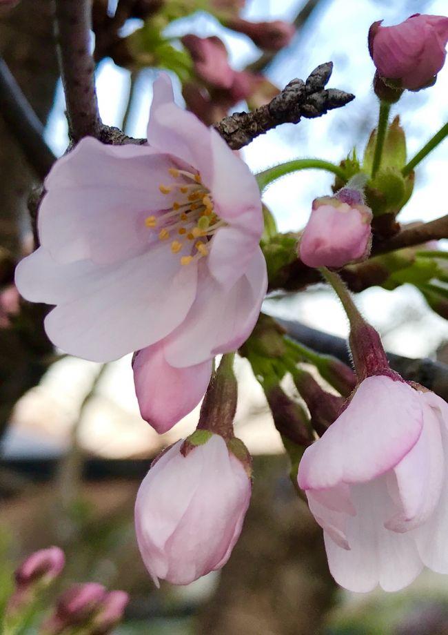春休みの北陸親子旅3泊4日☆⑩山中温泉の鶴仙渓からあやとり橋♪そして、桜が待つ我が家へ('∀'r