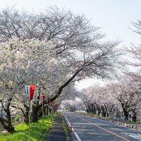 2020 鍋田川堤の桜並木