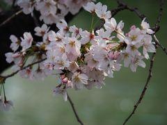 一年越しの桜! 訪れるのが早すぎましたが・・