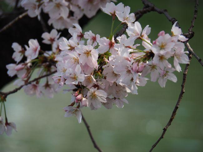 井之頭恩賜公園 <br /><br />東京都三鷹市井の頭4-1-7<br />2020.3.26<br /><br />昨年はチャンスを逃して 伺えなかった恩賜公園。<br /><br />今年はコロナウィルスの影響で 早くに桜を見なければ<br />国と都が もしかして 緊急封鎖? と 思い<br />早めに訪れました。<br /><br />が 肝心の桜は 三分咲と言ったところでした。<br /><br />訪れた 翌日 都内全公園など 人の集まる場所は<br />都知事によって 出入り 封鎖処置がとられたとの事でした。<br /><br />いわば ぎりぎりセーフで一日前に 伺えた事だけでも<br />在り難かったです。<br /><br />今は出歩かないでくださいね。<br /><br />コロナの恐ろしさを知り、撲滅しなければなりません<br /><br />