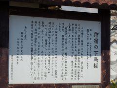 富士宮の桜
