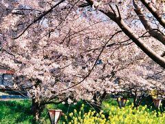 《2020.April》あみんちゅなにげに関西街歩きの旅滋賀そのⅡ之②~野洲・生和神社の桜編~