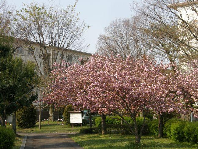 私たち夫婦は健康維持管理の為に、毎日、早朝ウォーキングを実施しています。<br /><br />今日は、お天気は快晴・季節は春爛漫・コース上の花々を楽しみながら歩いた記録です。