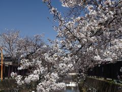 「八瀬川」のサクラ_2020_3月25日:3~5分咲きでした。(群馬県・太田市)