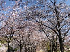 「八王子山公園墓地」のサクラ_2020_4月9日は、散り盛りでした(群馬県・太田市)