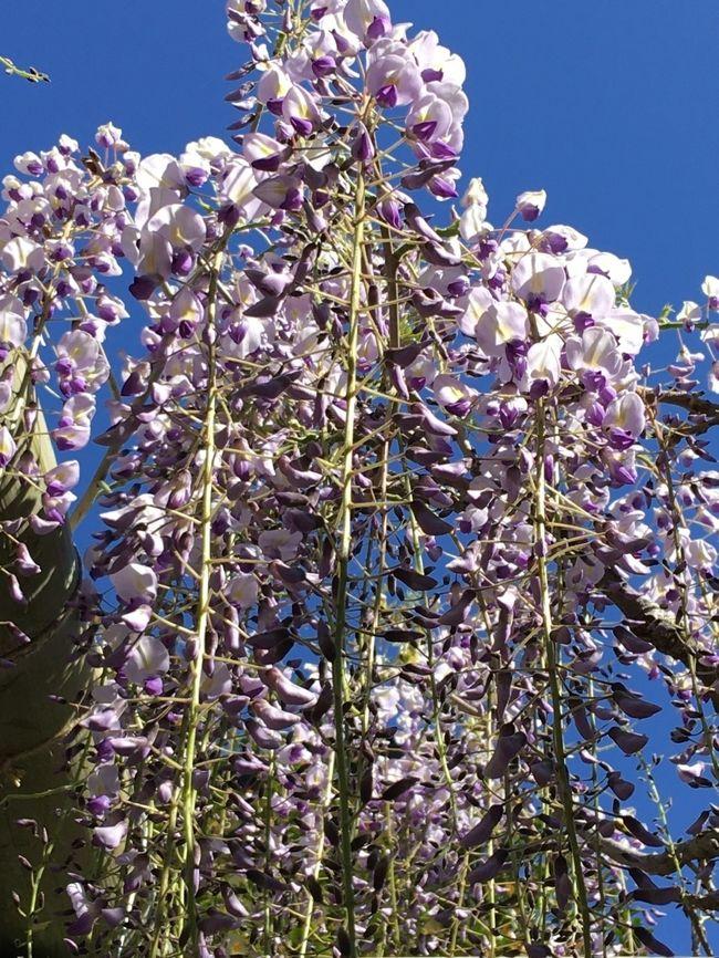 昨日は、豪雨と強風で閉じこもっていましたが<br />今日は良い天気です<br /><br />三密を避けて歩きに行きます<br /><br />そろそろ藤が咲いているんじゃないかと<br />様子見に行きます<br /><br />コロナ終息のお願いに久伊豆神社さんをお参りし<br />お隣の天嶽寺さんもお参りしてご朱印を頂きました<br /><br />藤は、もう少し先ですが、散歩楽しめました<br />免疫力を高めて乗り切りたいと思います