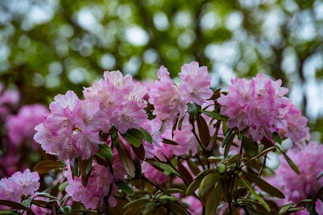 豊後大野市の朝地にある神角寺には、樹齢100年を超える約500本の石楠花が植えられており、シャクナゲ寺として有名です。