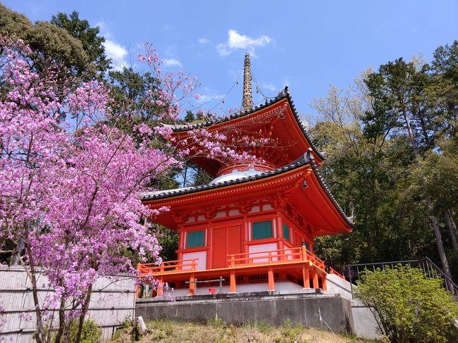 緊急事態宣言前のお花見④京都