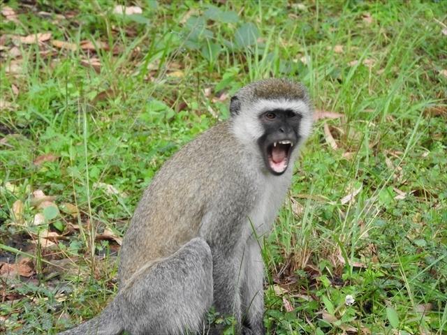 ルワンダはペットの管理が非常に厳格で,街中で犬猫を見かけることはありません.そのため,せっかくの「猫探し」は,初日で断念.で,キガリ以外にどこに行こうかと考えていたのですが,ホテルでキガリ以外の観光地を聞いてみると,「ゴリラツアー」と「サファリツアー」かな,という答えが返ってきました.後で気がついたのは,ホテルに宿泊している観光客の皆さんは,この二つのツアーを目当てにルワンダまで来ているということでした.どちらのツアーも専用の車で連れて行ってくれますが,料金は恐ろしく高く,ゴリラツアー(北の山岳地帯にいるようです)の場合は何日間トレッキングをするかどうかで違いますが,1000~2000ドル,サファリツアー(東のタンザニアとの国境)は日帰りも出来るのですが,それでも250ドルくらいからでした.どちらも私の予算を大幅に超えていることと,猫以外の動物にはほとんど興味がないので,ツアーでなく行けそうな「観光地」をググッた所,「温泉」というキーワードが出てきました.地図を見ると,コンゴとの国境にあるキブ湖という所に温泉マークが付いていて,温泉が湧き出ている模様.しかも,距離は片道160km程度と日帰りできそうな距離.「これは行ってみる価値がありそう」ということで,キブ湖へ行ってみることにしました.アフリカに限らず,アジアでもラオスの山岳部に行ったときなどは,あまりの悪路で100kmが一日がかりのようなこともあったので,一応道路情報を聞いてみると「全部舗装になっているから快適だよ」とのこと.これなら日帰りでも十分往復可能だろうなと勝手に考えて出かけましたが・・・