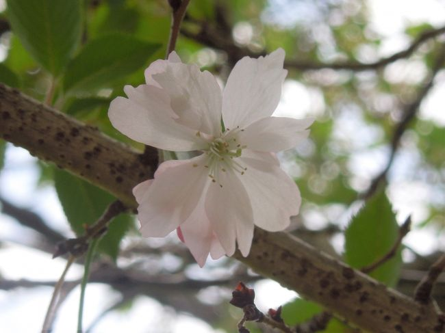 4月22日、午前11時過ぎにふじみ野市の亀久保西公園に行き冬桜の葉桜を見に行きました。 葉桜の中にも僅かな花が咲いていることがわかりました。 公園に16本の冬桜の樹が植わっていますがこのうちの二本にはまだ花が咲いていました。<br /><br /><br /><br />*写真はまだ咲いていた冬桜の花<br />