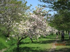 柏市の大堀川・リバーサイドパーク・八重桜・2020年4月