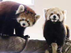車デビュー敢行!那須どうぶつ王国(2)アジアの森と保全の森:レッサーパンダは4ヶ月前と同じ布陣&スナネコはまじ天使&おねだりマヌルネコとご飯