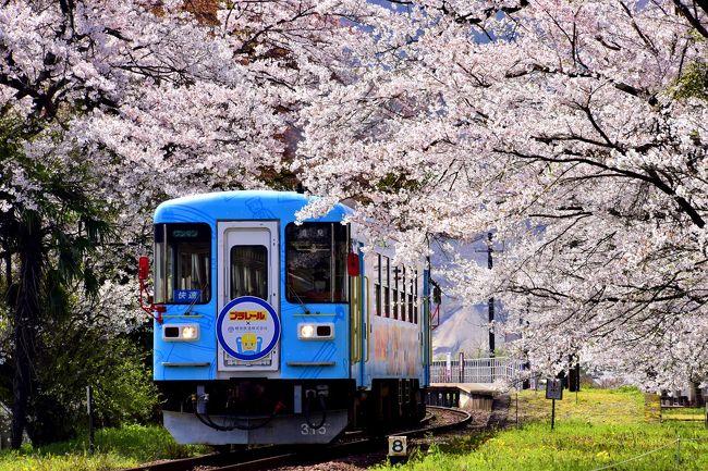 樽見鉄道沿線に咲き広がる満開な桜の風景を探しに、谷汲口駅~本巣駅までを散策してみました。