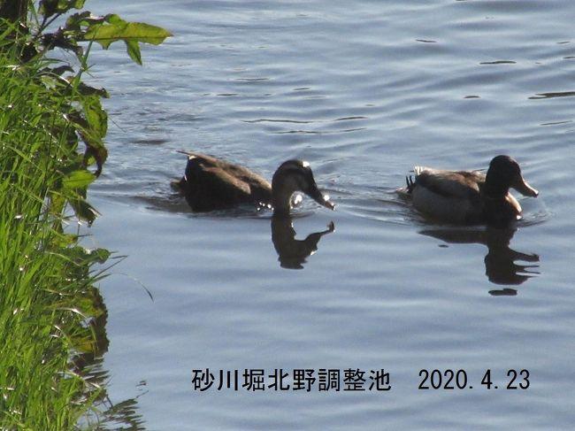 砂川堀北野調整池 第3調整池の水路で泳ぐカモ  2020.4.23 6:37<br /><br />新型コロナウィルスの感染防止のために外出の自粛要請が出ていますが、運動不足解消のため久しぶりに人気(ひとけ)がほとんどない農道の早朝ウォーキングに出かけた。<br />2016年までは早朝ウォーキングは時々行っていたが、週2日のトレーニングルーム(入間市健康福祉センター内 にあり、当分の間閉鎖中)通いを始めてから早朝ウォーキングは止めていたので、およそ4年ぶりとなる。<br />西武鉄道小手指車両基地に近い自宅からは北野運動公園あたりまでの北野コースと、入曽車両基地あたりまでの北中コースがあり、いずれも90分のコースである。<br />4月23日 北野コース<br />自宅(小手指町2丁目)→車両基地下暗渠(通称オバケトンネル)→北野調整池→所沢西高校→国道463バイパス→北野中→白旗塚(小手指古戦場跡)→北野運動公園(北)→北野小→463バイパス→北野調整池→暗渠→自宅<br /><br />4月25日 北中コース<br />自宅→松岡公園→小手指幼稚園→「小手指陸橋北」交差点→北中農道→北中運動公園→北中農道→天理教所沢分教会→水野のソバ畑→雑木林→やすらぎの里(老人施設)→国道463(行政道路)北中小入り口→砂川堀→松岡公園→自宅<br /><br />撮影 Canon PowerShot SX610HS<br /><br />類似のコースのウォーキングの記録<br />小手指の早朝ウォーキング・花めぐり 北野コース2016<br />https://4travel.jp/travelogue/11120007<br />小手指の早朝ウォーキング・花めぐり 北中コース2016 <br />https://4travel.jp/travelogue/11121310<br />わが街小手指 年末の午後ウォーキング <br />https://4travel.jp/travelogue/11201288<br /><br />2020.4.26 投稿<br /><br />