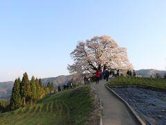 どこかにマイルで広島へ(岡山・醍醐桜を中心に桜の名所を回ってみました)