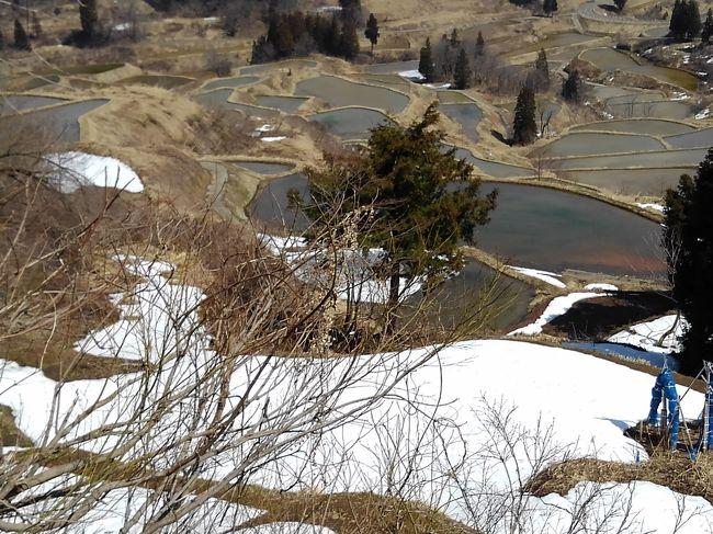 関越道があるので、六日町、浦佐辺りまで行くのは簡単なのですが、一山超えて十日町や津南方面へ行くには雪の峠を越えなければいけません。しかし、今年の冬は暖冬で雪が少ないため峠越えも簡単そうです。十日町で蕎麦を食べたいと、泊まった翌日の水曜日に宿を出発したのでした。<br /><br />六日町からほくほく街道560号を進むのは、その昔に関越から志賀高原へ向かえるルートとして使ったことがある懐かしの道路。道路標識は「冬季閉鎖通行止め」と書かれていましたが、この暖冬で道路には雪がまったくありません。そのまま進むと、ムカイスリーリゾートの先で本当に通行止めでした。(+_+)<br /><br />案内の通りに行くと253号上沼道出ました。そこは新しく出来た高速道路に見えるくらいの施設で、八箇峠も長いトンネルで簡単に抜けられ、時代の変化を感じました。<br /><br />十日町に着くと、交差点の案内板に「キナーレ」の文字がありました。道の駅もあるのでここから見学しようかと行ったのですが、なんとお休みでした。そこで宿を出る時に言われた言葉を思い出しました。「十日町のお蕎麦屋さんは、水曜休みが多いんだよね」エーッ、蕎麦屋さんだけでなく施設も水曜がお休みなんですか。<br /><br />それならば松代地区にも蕎麦屋さんがあるので253号を進み、ほくほく線のまつだい駅に着きました。ここは道の駅でもあり、観光案内所もあります。すぐ側にも数件あるようですが「今日は休みですねえ」と言われて、十日町駅周辺と同じ状況でした。<br /><br />せっかく案内所に来たのですから、松代や松之山温泉の地図と観光案内をもらいました。星峠の棚田、美人林、松之山温泉などのコースを紹介されたので一回りすることにしました。<br /><br />暖冬とは言えまだ山に向かうと雪が残っていて、峠道を登った棚田展望台へ。ここまでは除雪されていて、雪が残る棚田は静かに春を待つ感じでした。足元を見ると、フキノトウが顔を出していてもうすぐ田起こしが始まるのではと感じられます。<br /><br />美人林は通常のルートが残雪で通れず、分校の前を通る大回りルートでやっと着けました。冬のため静かで、木々が真っすぐに揃って伸びる姿はなんとも美しく感じました。緑や紅葉の季節に来るもの良いだろうと思わせてくれます。<br /><br />しかし、しかしです、未だに蕎麦が食べられないのです。少し離れて林を見ると、、、蕎麦が真っすぐに立っていいるように見えるほど、お腹が空いていたのでした。((+_+))<br />