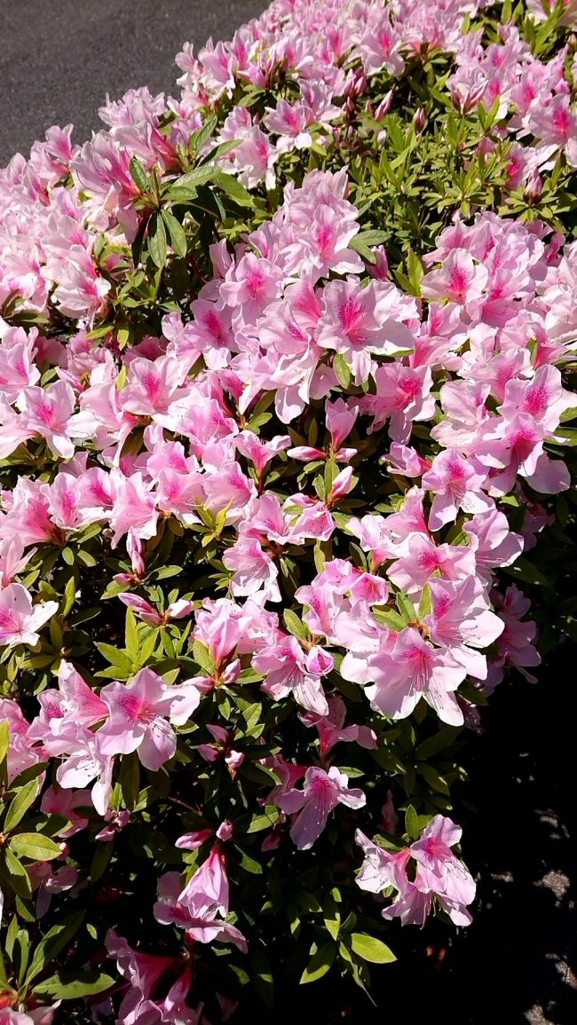 新型コロナウィルスで、外出自粛規制が掛かっているので、遊びにも行けない。気晴らしに散歩に出かけました。神田界隈は、幹線道路沿いには、ツツジがたくさん咲いています。見ごろでしたので、ゆっくり散歩しながら観察してきました。